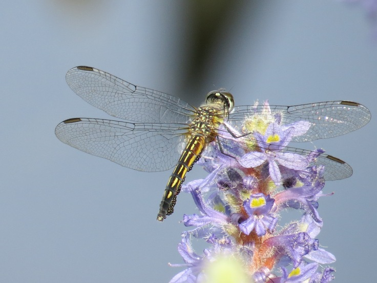 July dragonfly