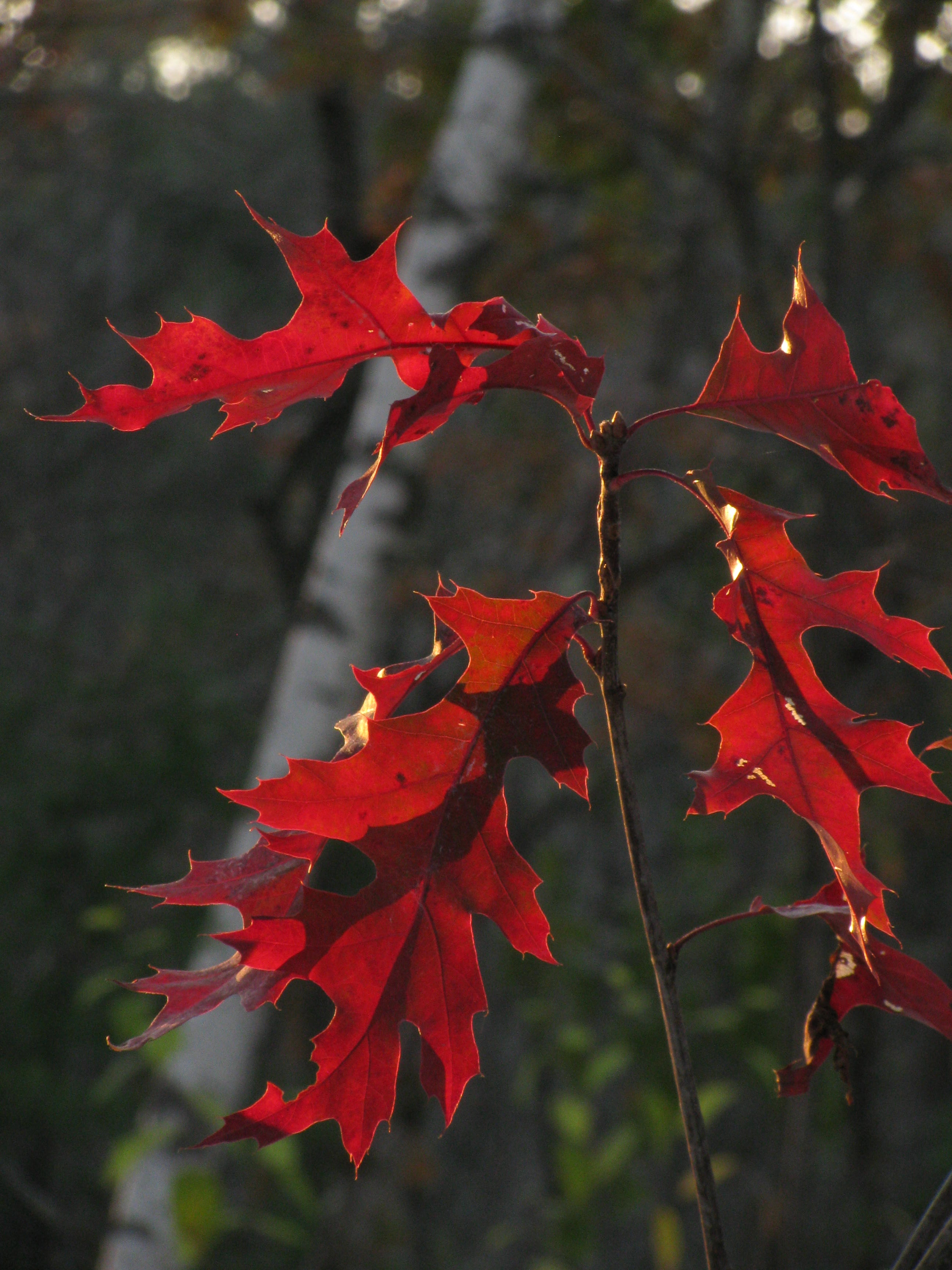 oak autumn leaves