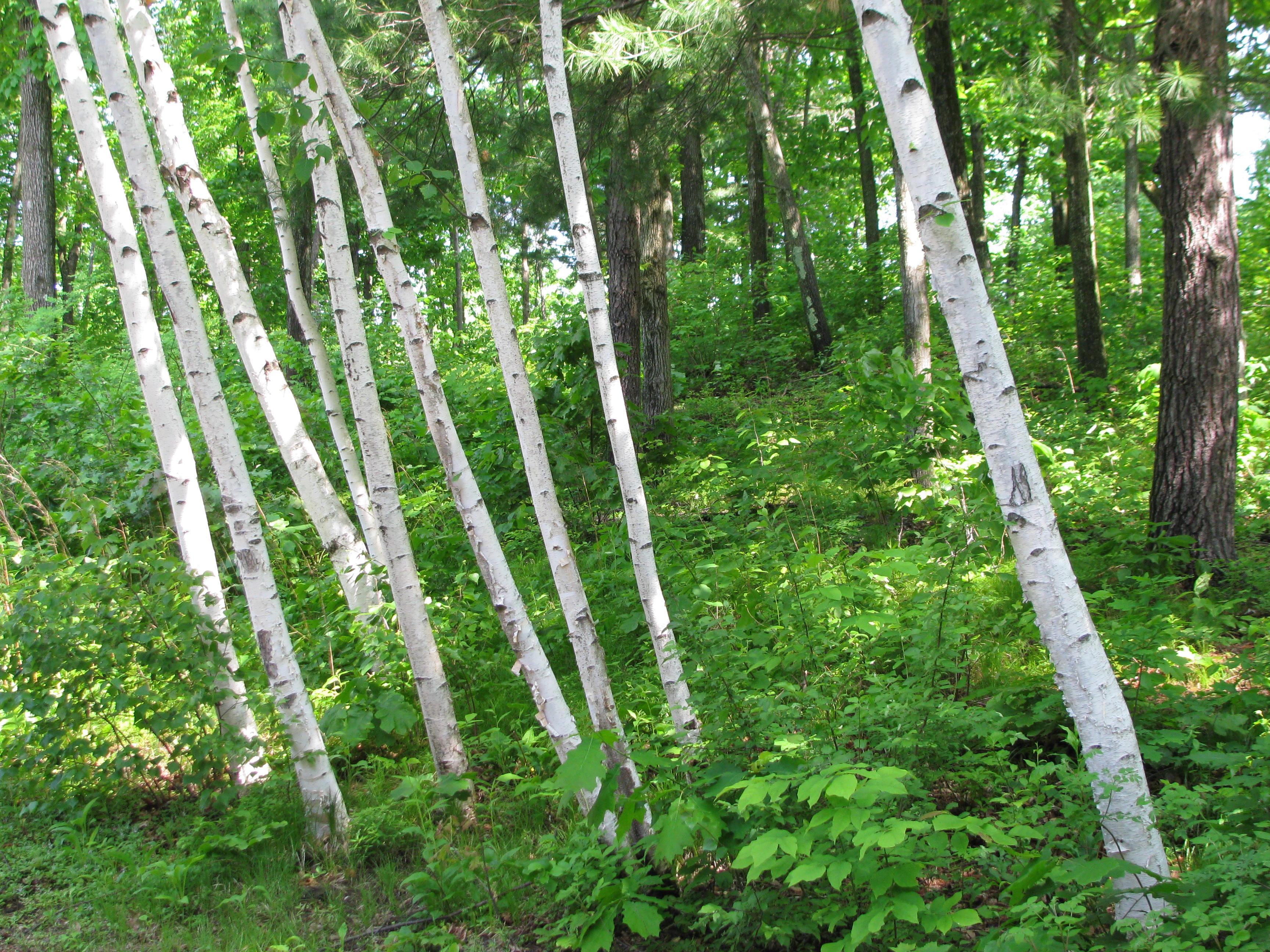 bright birch cluster