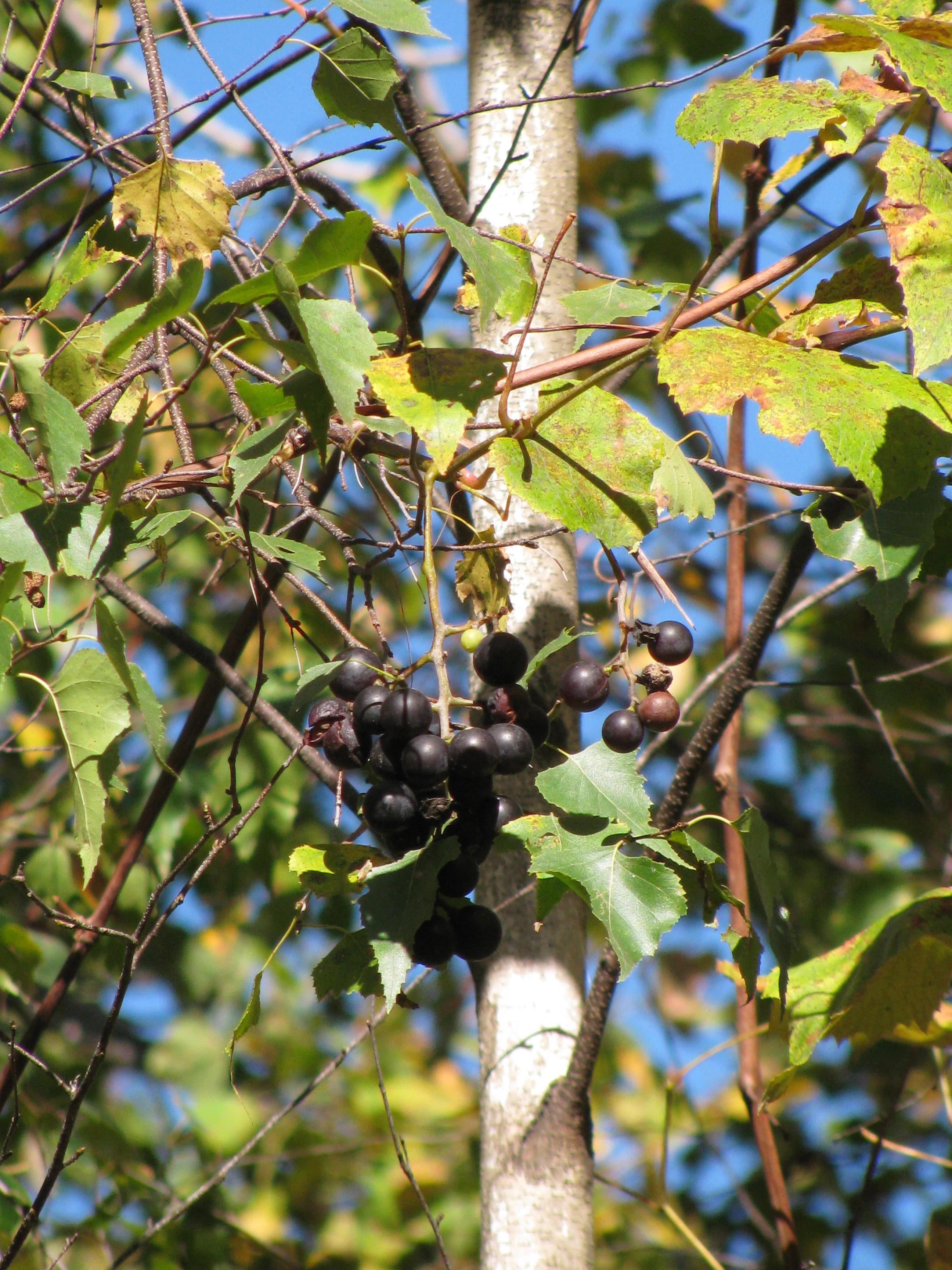 grapes tall