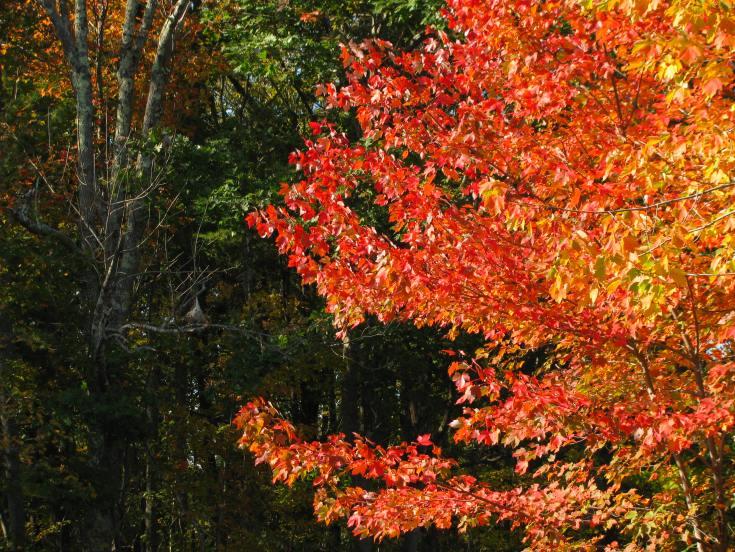 pond maple