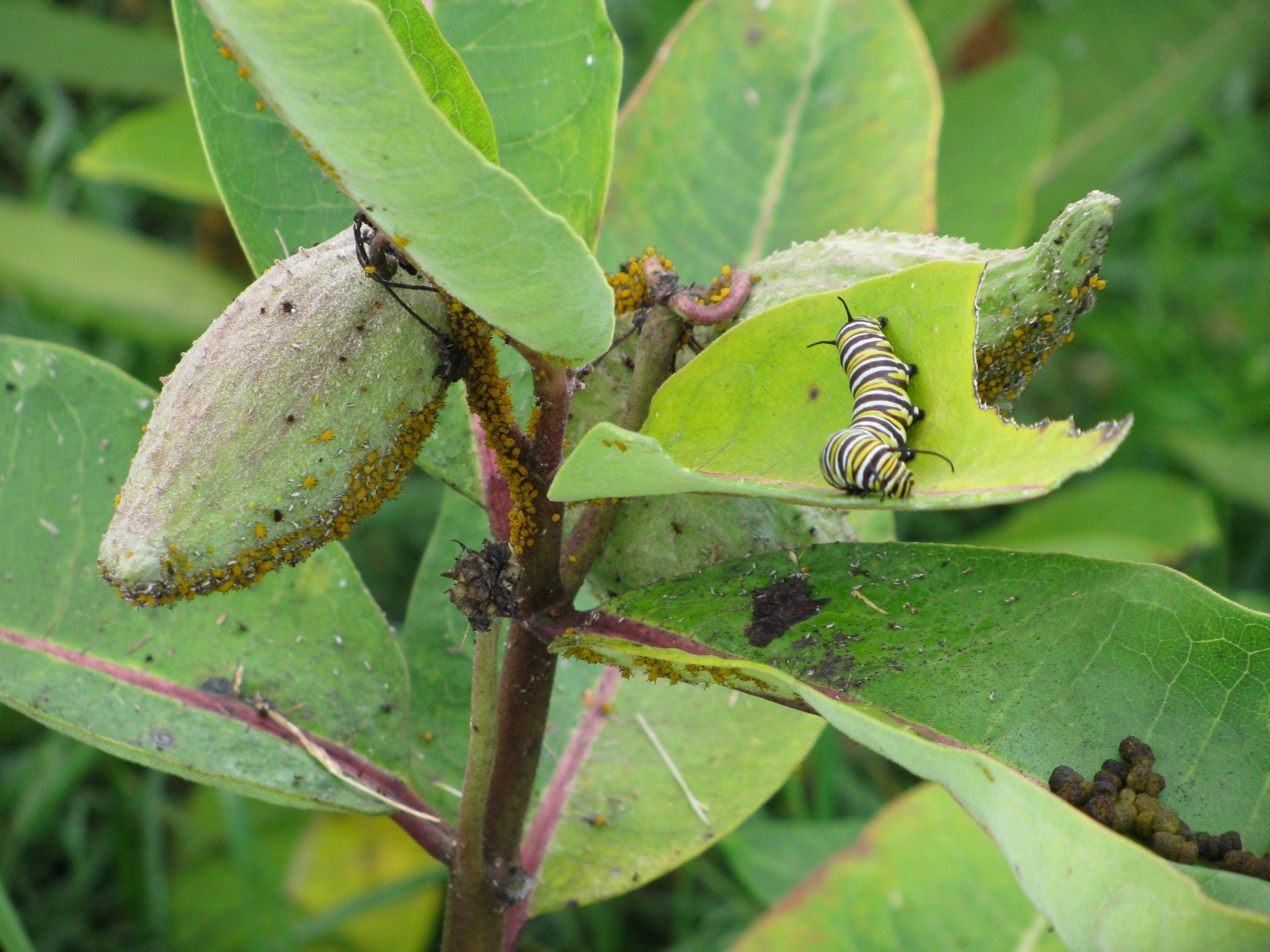 milkweed pod aphids